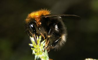 Baumhummel, Foto: W. Willner